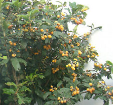 Japanese Medlar Loquat fruit tree Eriobotrya japonica plant, evergreen edible