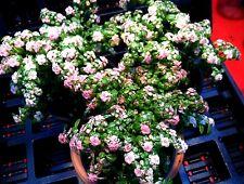 "PILEA MICROPHYLLA 'VARIEGATA' (VARIEGATED ARTILLERY FERN) PLANT IN 2 1/4"" POT"