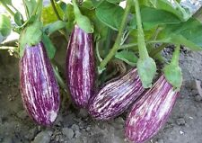 Liveseeds - Asian Curry-Brinjal-Eggplant-Aubergine 30 Seeds