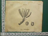 1810 GERMAN PRINT ~ THE BUTTER TREE