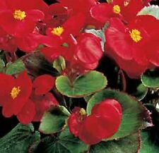 30+ GORGEOUS SCARLET RED BEGONIA FLOWER SEEDS  /  ANNUAL