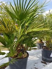 Chamaerops Humilis Zwergpalme Palme Gesamthöhe ca. 1,10 m Freiland aus Spanien