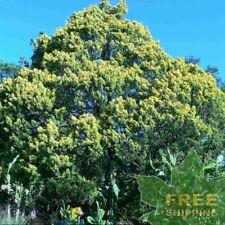 CHINESE JUNIPER Juniperus Chinensis - 15 SEEDS. FREE S&H