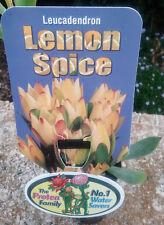 Leucadendron Lemon Spice in 75mm tube (Leucadendron and Protea) cut flower