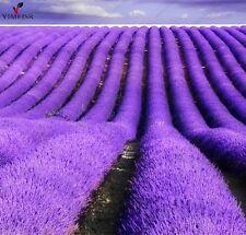 New listing Provence Lavender Seeds Purple Lavandula Vanilla Seeds Fragrant Organic Lavender