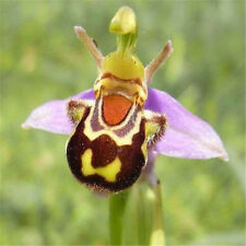 FD3634 Rare!! Seeds Flower Smile Face Bee Orchid Flower Seeds Free Ship 10PCS