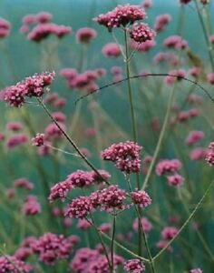 Verbena bonariensis / Verbena 'Buenos Aires' / Hardy Perennial / 1000 Seeds