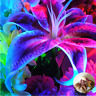 Royal Blue Lily Bulbs,(Not Lily Seeds), Flower For Home And Garden 2,4,6,8,10Pcs