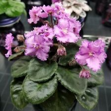 Imp's Amethyst Shards Semi Miniature African Violet plant