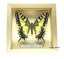 REAL MOUNTED FRAMED BUTTERFLY - Papilio machaon - THE OLD WORLD SWALLOWTAIL
