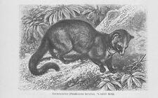 Larvenroller Paguma larvata Katzen Holzstich von 1891 Schleichkatzen