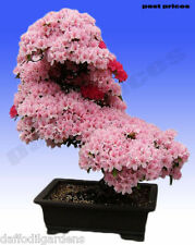 Japanese Cherry Blossoms Sakura Garden Flower Seeds, Beautiful Pink 10 Seeds