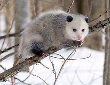 METAL MAGNET Image Of North American Opossum In Tree Winter Coat Possum MAGNET