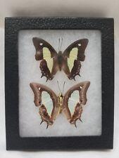 "Two Real Framed Mounted Polyura Athamas ""Nawab"" Butterflies Malaysia"