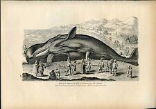 Sperm whale captured in Belgium in 1577.Antique print.1899