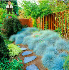 100 Graines Blue Bunting Seeds Indoor Garden Festuca Glauca Ornamental Plants S