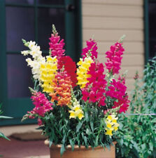2000 Baby Snapdragon Mix Toadflax Linaria Flower Seeds