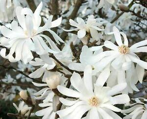 Magnolia Royal Star-  Star Shape Fragrant Flowers Shrub/ Tree