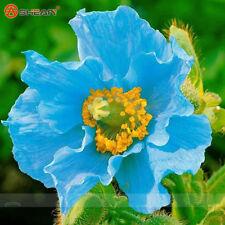 200 Rare Persian Blue poppy Papaver Somniferum Flower Seeds