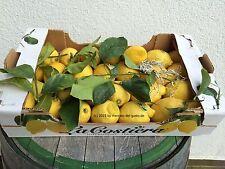 Amalfi-Zitronen - unbehandelt - teilweise mit Blättern - 1 kg