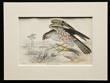 Ash Coloured Harrier - Mounted Antique Bird Family Print 1840s by Jardine