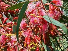 CORAL GUM SEEDS EUCALYPTUS TORQUOTA EUCALYPT GUM TREE NATIVE 100 SEED PACK