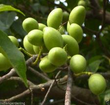 Live Ceylon Olive Plant - Veralu Veralikkai Kaara Jolpai Plant - One Plant