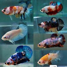 IMPORTED Live Betta Fish Male Halfmoon Plakat Koi Galaxy Fancy USA SELLER