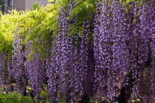 Blue Chinese Wisteria Vine, Wisteria sinensis, Flower Seeds tree Free shipping
