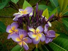 """PURPLE LEMON"" FRAGRANT PLUMERIA CUTTING WITH ROOTED 7-12 INCHES + Free Phyto"