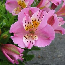 Alstroemeria Little Miss Lucy
