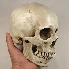 New White Resin Replica 1:1 Life Size Human Anatomy Skull