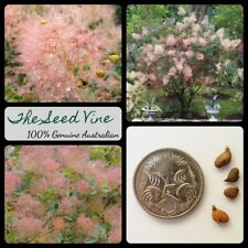 10+ SMOKE TREE SEEDS (Cotinus coggygria) Bonsai Ornamental Frost Tolerant Bush
