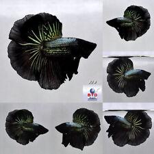 Betta Fish JU9 Male Fancy Black Dragon OHM Premium Grade