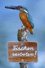 Ansichtskarte: Fischen verboten - Eisvogel mit Fisch sitzt auf Verbotsschild