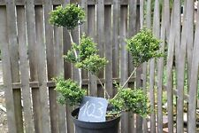 1 Ilex crenata conv. formschnitt-bonsai No:103 ( (H) .70cm Until 75cm, 6 Balls)
