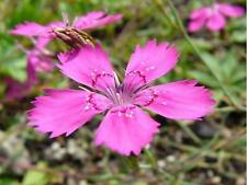Dianthus- Maiden Pink- 200  Seeds- BOGO 50% off SALE