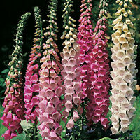 foxglove, excelsior mix flower, SHADE OR SUN, 700 seeds! GroCo buy US USA*