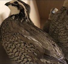 12 Silver bobwhite Quail Hatching Eggs