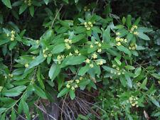 California Bay Leaf Tree