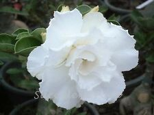 """Rosy Adenium Obesum (Desert Rose) """"Snow White"""" grafted plant"""