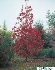 Liquidambar styraciflua Thea - Amerikanischer Amberbaum Thea - Seesternbaum - Am