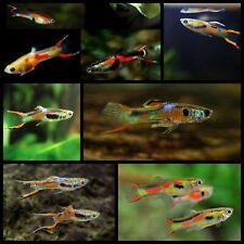 New listing (10) Assorted Endler'S Livebearer (Poecilia wingii) - Live Fish