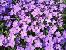 500 фиолетовый rockcress обриета цветок семена * расческа S/H