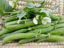 2017 Green Arrow Shell Seed Pea 1/2 lb  approximately 800 seeds