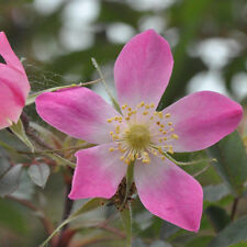 1 Rubrifolia Rose 2-3ft Tall In 1L Pot Rosa Glauca Hedge Plants,Red Leafed Rose