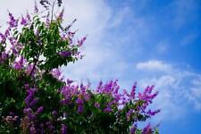 Lavender Crape Myrtle 5 Seeds - Unique Colour, Longest Blooming Tree