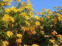 25 Live Roots - Yellow Perennial Crawling Flower Vine! Fragrant Starter Rhizome