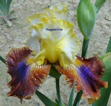 "Tall Bearded ""Mayan Mysteries"" Iris - Overlaid & Blended Multi-Colors '11"