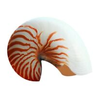 1X(14-16Cm 5.5-6.3 Pouces Naturel Nautilus Coquillage Tigre Chambed Nautilu G9T5